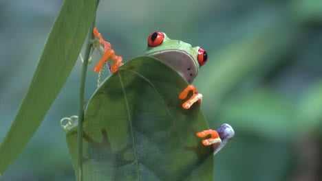 Close-up-of-a-red-eyed-tree-frog-looking-over-a-leaf-in-the-rainforest-1
