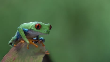 Close-up-of-a-red-eyed-tree-frog-jumping-from-a-leaf-in-the-jungle-in-slow-motion