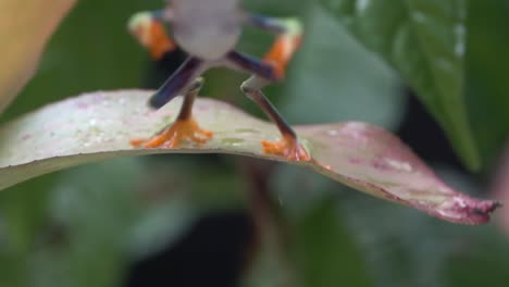Close-up-of-a-red-eyed-tree-frog-jumping-from-a-leaf-in-the-jungle-in-slow-motion-1