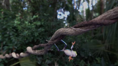 Amazing-shot-of-an-acrobatic-red-eyed-tree-frog-jumping-and-landing-on-a-branch