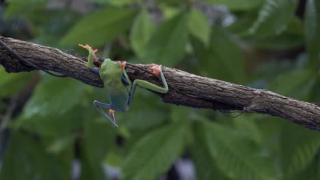 Amazing-shot-of-an-acrobatic-red-eyed-tree-frog-jumping-and-landing-on-a-branch-1