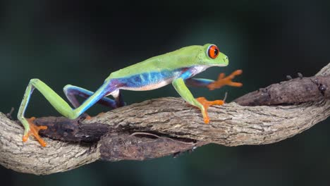 Close-up-of-a-red-eyed-tree-frog-walking-on-a-tree-branch-in-the-rainforest-1