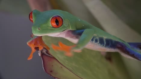 Close-up-of-a-red-eyed-tree-frog-walking-over-a-leaf-in-the-rainforest-1