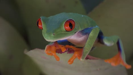 Close-up-of-a-red-eyed-tree-frog-walking-over-a-leaf-in-the-rainforest-2