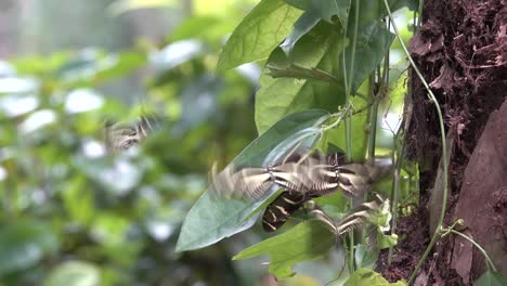 Zebra-longwing-butterfly-males-attracted-to-female-crysalis