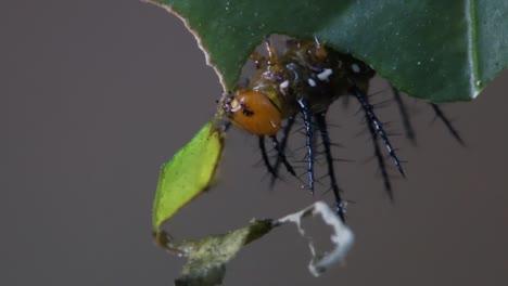 Julia-Butterfly-Caterpillar-Come-Hojas-En-La-Selva