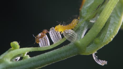 A-zebra-caterpillar-eats-its-shell-while-an-ant-looks-on-in-this-macro-shot