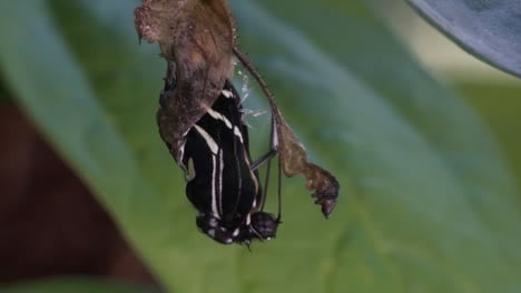 A-zebra-longwing-butterfly-emerges-from-a-cocoon-and-spreads-its-wings