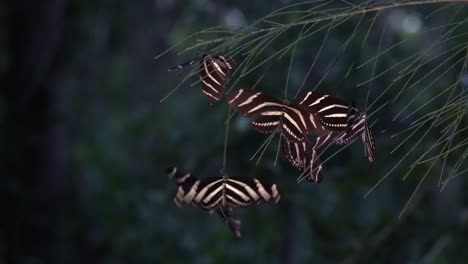 Zebra-longwing-butterfly-roost-at-night-in-the-forest