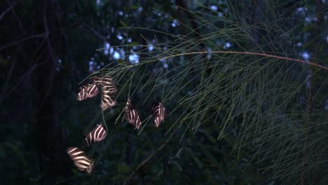Zebra-longwing-butterfly-roost-at-night-in-the-forest-2