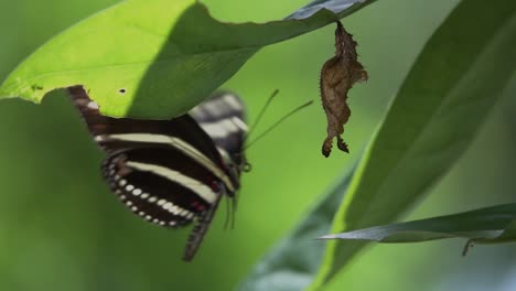 Zebra-longwing-butterfly-male-inspects-the-crysalis-in-slow-motion