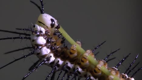 Zebra-longwing-butterfly-caterpillar-feeds-and-eats-on-a-branch