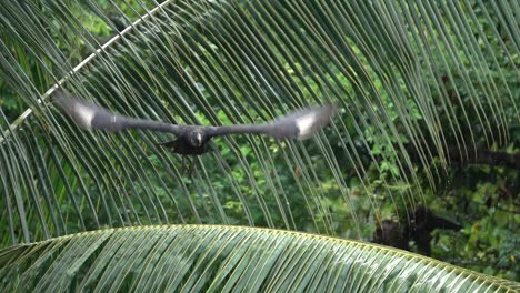 A-black-vulture-flies-in-slow-motion-in-Costa-Rica