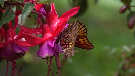 A-Fritillary-Butterfly-on-a-bleeding-heart-flower-blossom-in-the-jungle-of-Costa-Rica