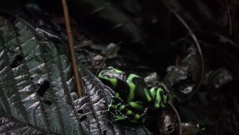 A-green-and-black-poison-dart-frog-walks-in-the-vegetation-in-the-jungle-of-Costa-Rica