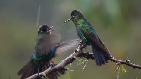 Beautiful-slow-motion-close-up-of-Magnificent-Hummingbirds-in-a-rainstorm
