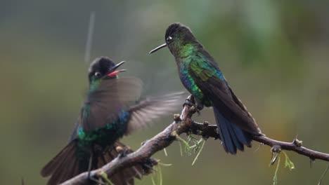 Schöne-Zeitlupe-Nahaufnahme-Von-Prächtigen-Kolibris-In-Einem-Regensturm