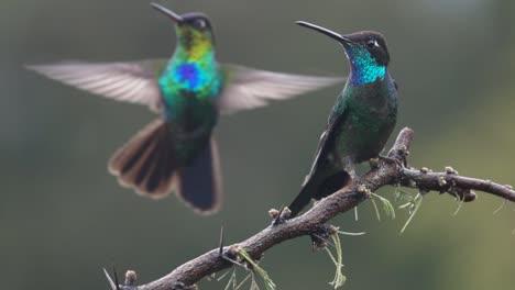 Schöne-Zeitlupe-Nahaufnahme-Von-Prächtigen-Kolibris-In-Einem-Regensturm-1