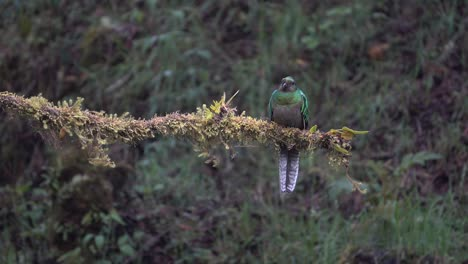 A-male-quetzal-flies-from-its-nest-in-the-jungle-rainforest-of-Costa-Rica