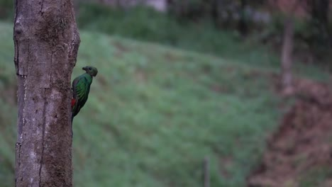 A-male-quetzal-at-its-nest-in-the-jungle-rainforest-of-Costa-Rica-1
