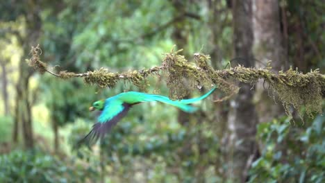 A-male-quetzal-flies-from-its-nest-in-slow-motion-in-the-jungle-rainforest-of-Costa-Rica-2