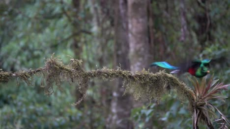 A-male-quetzal-flies-from-a-branch-in-slow-motion-in-the-jungle-rainforest-of-Costa-Rica