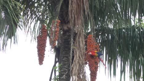 Una-Guacamaya-Roja-Se-Alimenta-De-Frutos-De-Palma-En-La-Selva-De-Costa-Rica