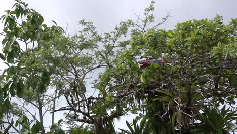 A-scarlet-Macaw-flies-in-slow-motion-in-the-rainforest-of-Costa-Rica
