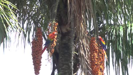 A-scarlet-Macaw-feeds-on-palm-fruit-in-the-rainforest-of-Costa-Rica-1