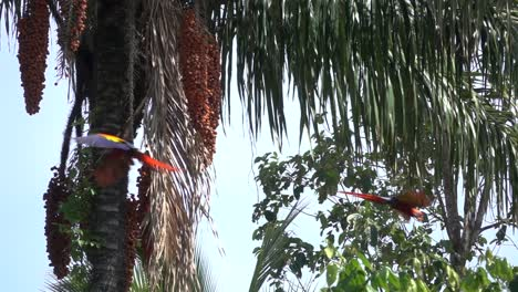 Two-scarlet-Macaws-fly-in-slow-motion-in-the-rainforest-of-Costa-Rica