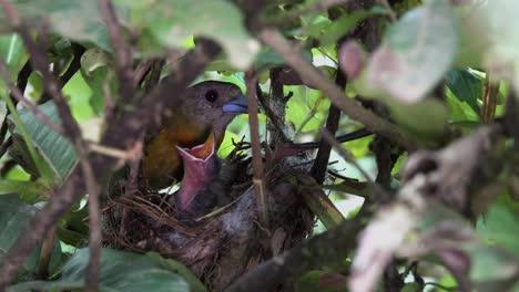 Una-Hembra-De-Tangara-Escarlata-Recargada-Alimenta-A-Los-Pollitos-En-Su-Nesxt-En-La-Selva-De-Costa-Rica