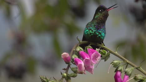 Beautiful-slow-motion-close-up-of-Violet-headed-Hummingbirds-in-a-rainstorm-in-Costa-Rica-1