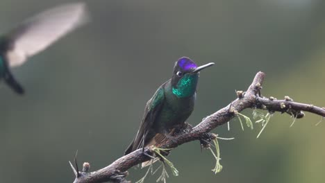 Beautiful-slow-motion-close-up-of-Violet-headed-Hummingbirds-in-a-rainstorm-in-Costa-Rica-3