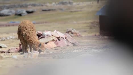 El-Pastoreo-De-Alpacas-Revelado