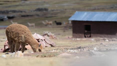 Alpaca-grazing-with-herd-in-background