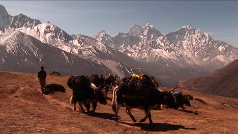Wide-shot-of-yaks-crossing-plateau-below-Mt-Everest