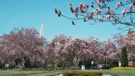 Cherry-trees-bloom-and-blossoms-in-Washington-DC-in-spring-with-Washington-Monument-background
