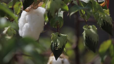 Cotton-grows-in-the-fields-of-Central-America-Guatemala-1