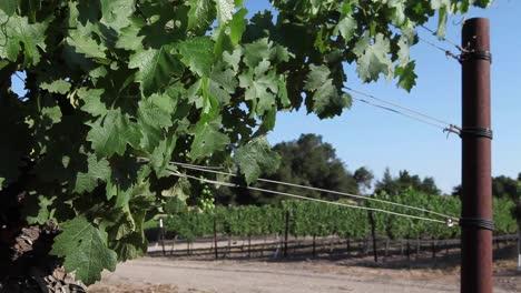 Healthy-dark-green-cabernet-sauvignon-grape-vines-and-a-wire-trellis