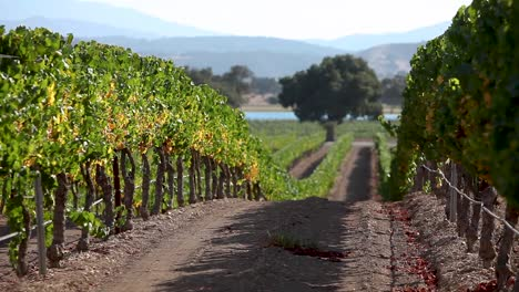 Beauty-shot-of-a-row-of-manicured-grape-vines-in-the-Santa-Ynez-Valley-AVA-of-California
