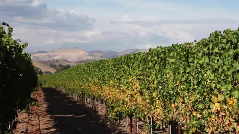 Beauty-shot-of-a-row-of-manicured-grape-vines-in-the-Santa-Ynez-Valley-AVA-of-California-1