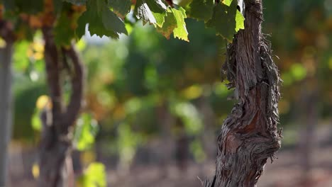 The-weathered-trunk-of-a-mature-grape-vine-in-the-Santa-Ynez-Valley-AVA-of-California