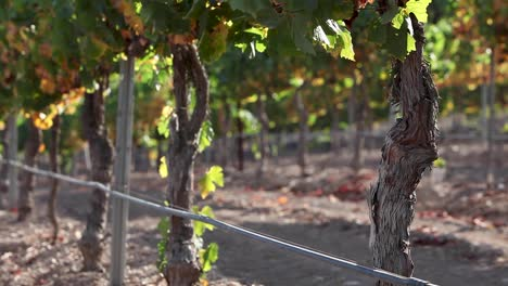The-weathered-trunk-of-a-mature-grape-vine-in-the-Santa-Ynez-Valley-AVA-of-California-1