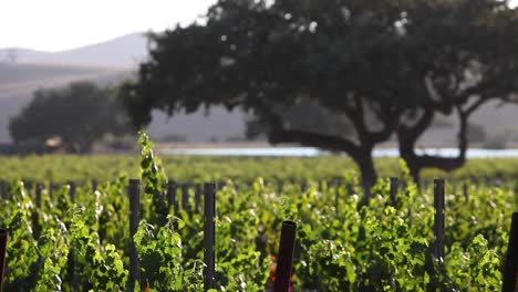 Beautiful-late-afternoon-light-in-a-vineyard-in-the-Santa-Ynez-Valley-AVA-of-California