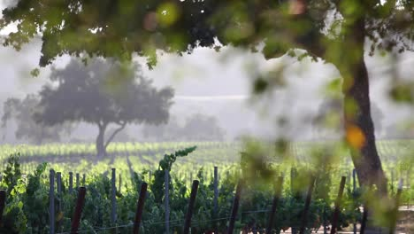 Romantic-late-afternoon-light-in-a-beautiful-vineyard-in-the-Santa-Ynez-Valley-AVA-of-California