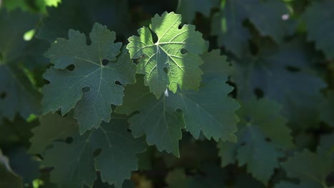 Medium-shot-of-healthy-green-leaves-young-cabernet-sauvignon-grape-clusters