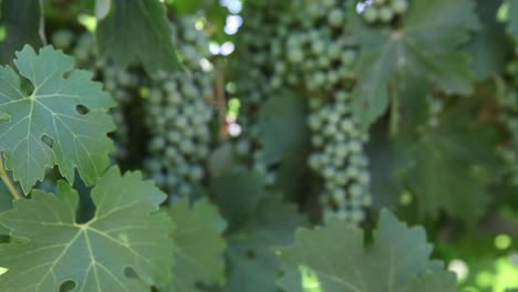 Tight-shot-of-healthy-green-leaves-young-cabernet-sauvignon-grape-clusters