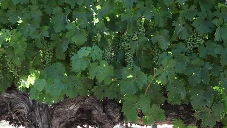Tight-shot-of-healthy-dark-green-cabernet-sauvignon-grape-leaves