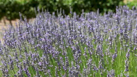 Tight-shot-of-bees-and-flowering-lavender-blowing-in-a-gentle-breeze-1