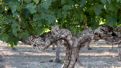 The-weathered-trunk-of-a-mature-grape-vine-in-the-Santa-Ynez-Valley-AVA-of-California-2